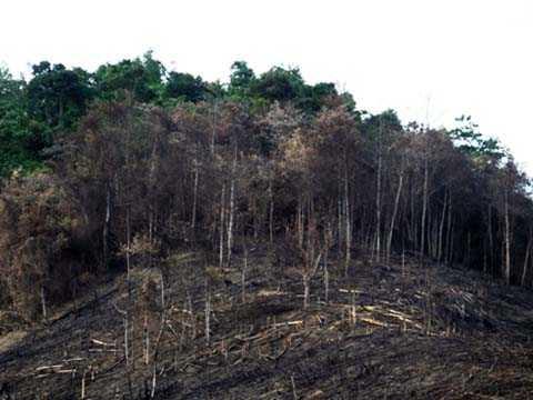 Hàng loạt cây tái sinh bị đốt trơ trọi