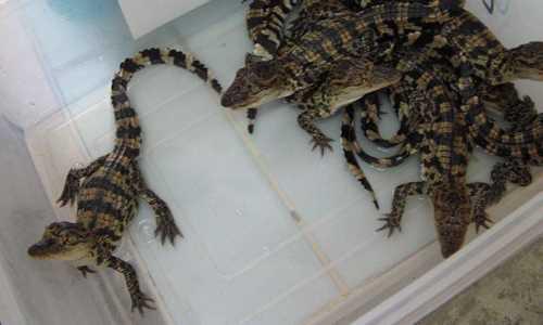 Một con cá sấu giống hiện có giá tới 650.000 đồng. Ảnh: MH