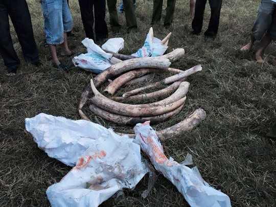 Số hiện vật nghi ngà voi được phát hiện sau vụ tai nạn Ảnh: Thành Tài.