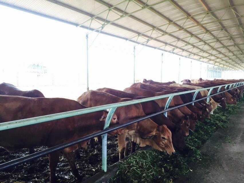 Trang trại bò của bầu Đức tại Attapeu, Lào (Ảnh: Hà Linh)