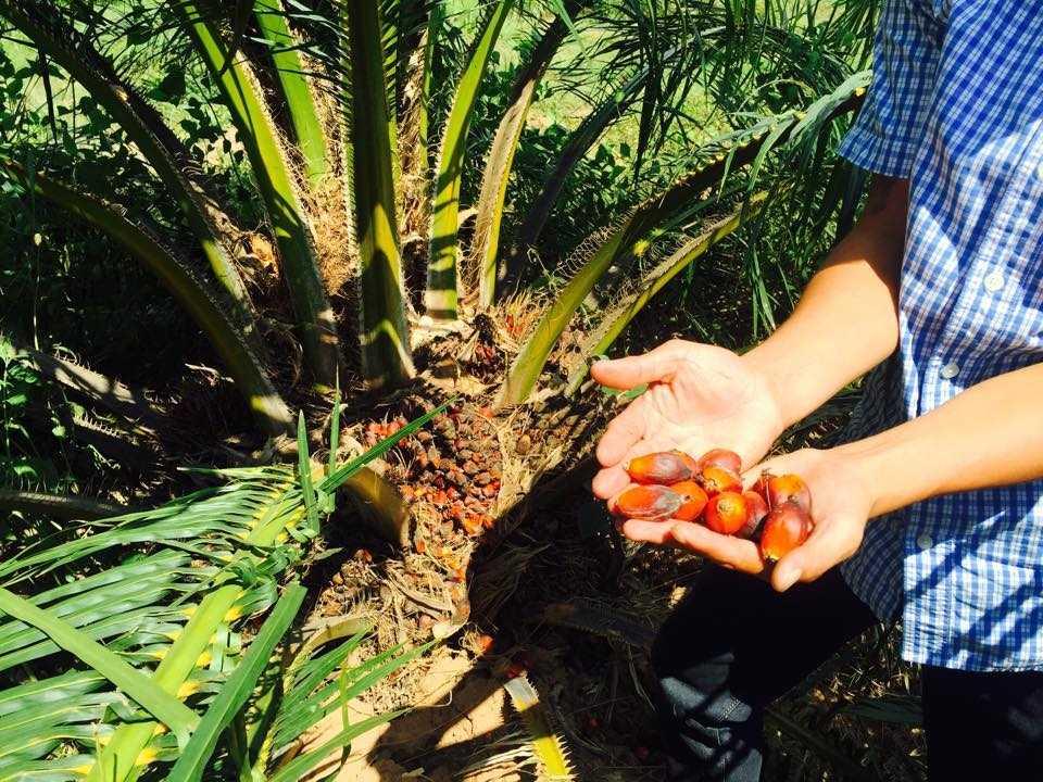 Dự án trồng cọ của Hoàng Anh Gia Lai tại Lào đã cho thu hoạch (Ảnh: Hà Linh)