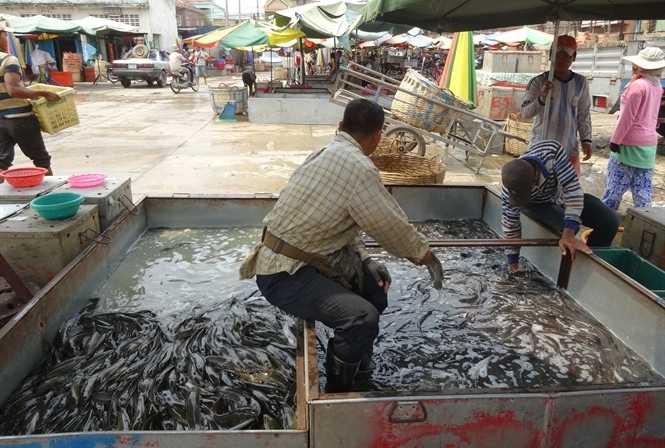 Cá ở Biển Hồ được gom cho thương lái