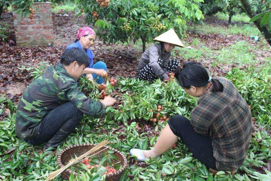 Người dân thu hoạch vải thiều đầu mùa. Ảnh: Nguyễn Thị Huyền