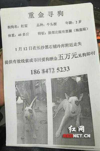 Thông báo tìm chú chó Bull Terrier với phần thưởng 8.000 USD