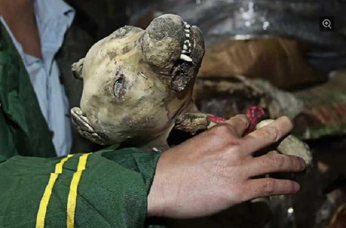 Một đầu chó thui cũng có mặt trong số thịt lậu trên. Một số loại được xác định đã quá hạn sử dụng tới tận 40 năm.