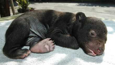 Gấu đen châu Á lúc 44 ngày tuổi. Ảnh: Wikipedia.