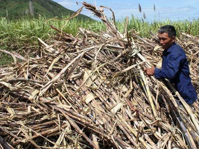 Nghị định về sản xuất và kinh doanh mía đường sẽ tạo hành lang pháp lý cho doanh nghiệp và nông dân trồng mía.   Ảnh:  M.K