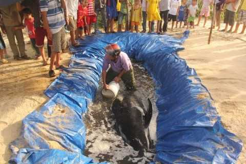 Cá voi dạt vào bờ được người dân chăm sóc Ảnh: CTV