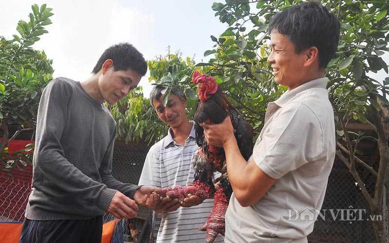 """Vua luyện """"hoa hậu"""" gà Đông Tảo """"nghìn đô"""" Giang Lê Hân đang trao đổi kinh nghiệm chăn nuôi, luyện gà quý với khách tại trang trại của gia đình ở xã Đông Tảo, huyện Khoái Châu, Hưng Yên."""