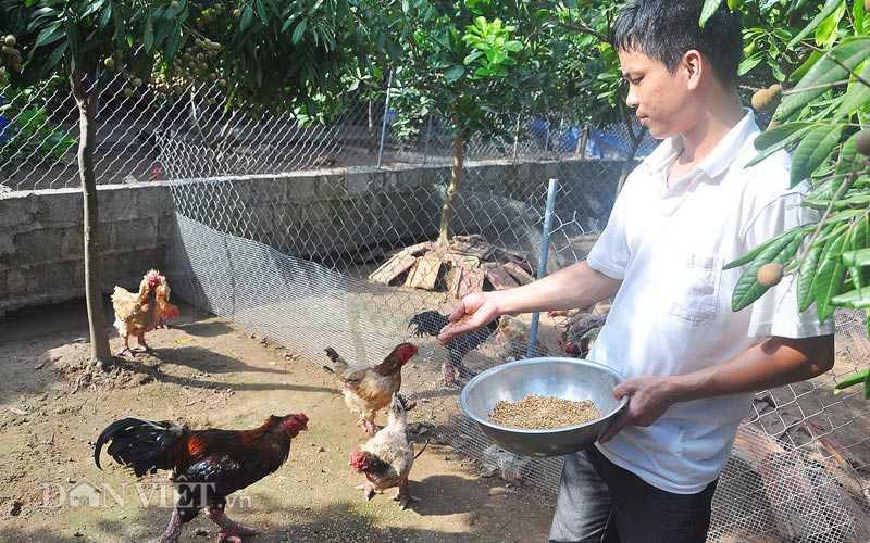 """Vua luyện """"hoa hậu"""" gà Đông Tảo """"nghìn đô"""" Giang Lê Hân đang cho gà quý ăn."""