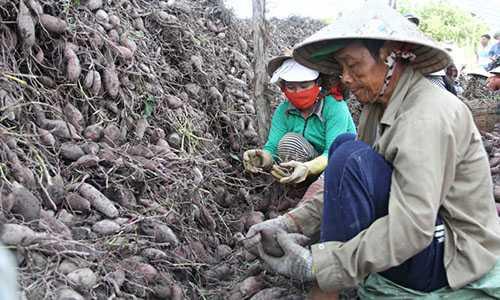 Ồ ạt trồng khoai lang, nhà nông miền Tây gặp quả đắng