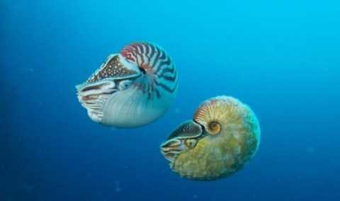 Ốc anh vũ thuộc chi Allonautilus (dưới) và ốc anh vũ thuộc chi  Nautilus