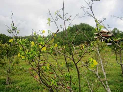Một cây mai trong khu mộ Đại tướng nở vàng rực như hòa chung vào không khí cả nước mừng ngày độc lập