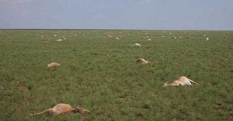 Chỉ trong 4 ngày, hơn 60,000 con linh dương chết hàng loạt