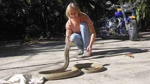 Mike Kennedy, ngôi sao truyền hình, chủ nhân của con rắn có thể sẽ bị khởi tố hình sự vì đã không thông báo với chính quyền việc con rắn độc khổng lồ xổng chuồng. Đây là con rắn đang gây hoang mang cho toàn bang Florida