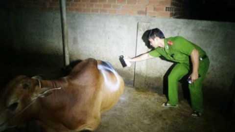 Công an đánh dấu lên con bò được bơm nước căng bụng, nằm đờ đẫn. Lực lượng chức năng yêu cầu chủ lò mổ cấm giết mổ con bò này, chờ ý kiến xử lý tiếp theo