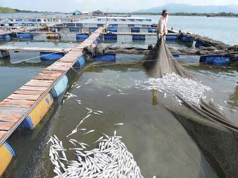 Cá nuôi trong lồng bè trên sông Chà Và, xã Long Sơn, TP Vũng Tàu của ngư dân chết trắng bụng vào sáng 6/9 - Ảnh: Đ.Hà.