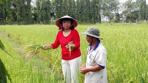 GS.TS Nguyễn Thị Lang luôn kiên nhẫn khám phá và cải tạo cây lúa