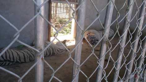 Một trong hai con hổ nuôi đã cướp đi cánh tay của chị Yến