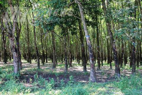 Mảnh đất nơi cả nhà ông Ba Đồng bị giết năm xưa, giờ chỉ còn là rừng cao su xanh tốt, không một dấu tích