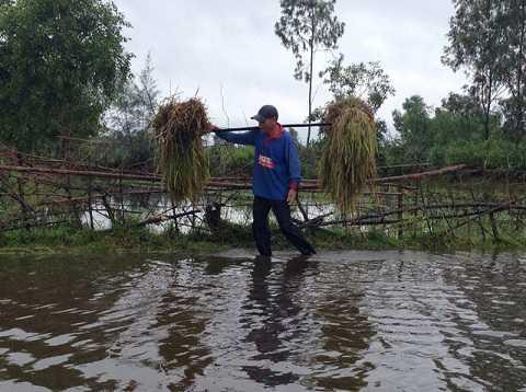 Bị bõm lội nước gặt lúa trước khi bão về (Ảnh: Dân Việt)