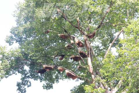 Tổ ong treo lủng lẳng trên cây, nhưng không ai dám lấy