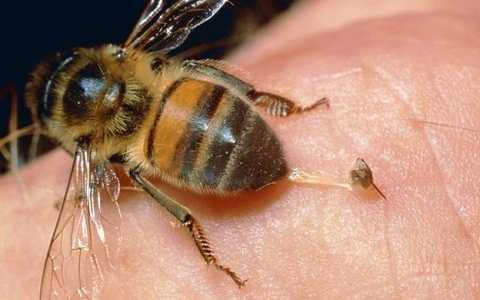 Vị trí nào trên cơ thể sẽ đau đớn nhất khi bị ong chích?