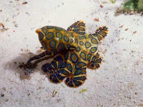 Bạch tuộc đốm xanh là sinh vật mang nọc độc chết người ở Úc có vẻ bề ngoài rực rỡ nhưng ẩn chứa trong đó là những chất độc chết người.