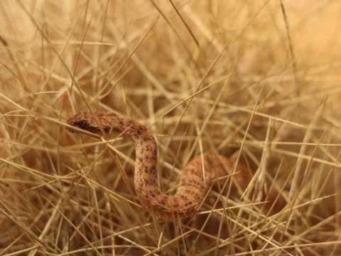 Loài rắn này sở hữu nọc độc nguy hiểm thứ hai trên thế giới và đặc biệt nhanh nhẹn