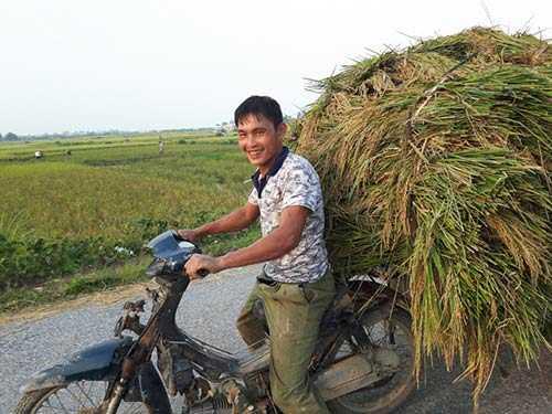 Xe máy được chưng dụng để thồ lúa về.