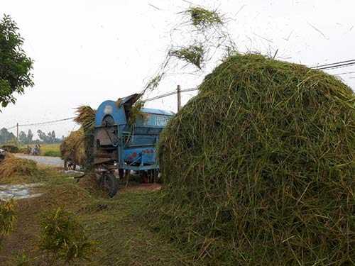Máy tuốt lúa kéo đến tận nơi phục vụ mọi người.