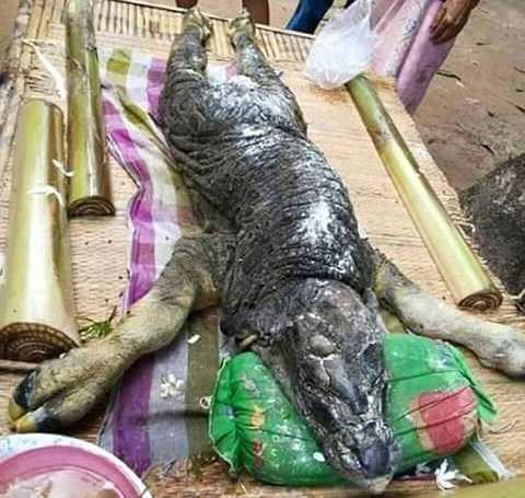 Con vật có thân hình của một con trâu nhưng phần đầu lại giống cá sấu