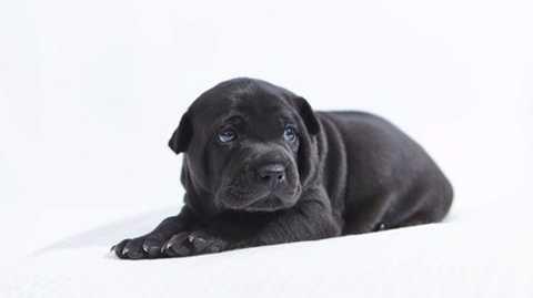 Chú chó Phú Quốc được rao bán lên tới 340 triệu đồng/con.