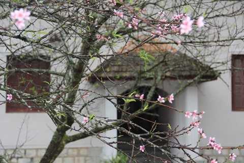 Những cây đào cổ lặng lẽ và vội vã nở cho kỳ được 2 mùa hoa