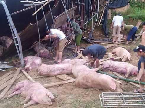 Người dân giúp tài xế gặp nạn vây bắt đàn lợn chạy khắp làng trong đêm