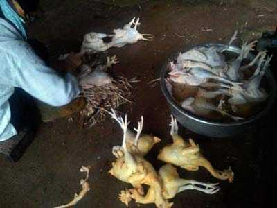 Nhuộm vàng gà bằng bột sắt.