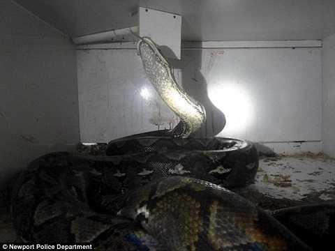 Con trăn khổng lồ dài hơn 6m và nặng 83kg