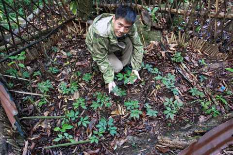 Vườn sâm 3 năm tuổi của đồng bào trên núi Ngọc Linh