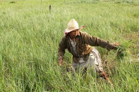 Nghề cắt cỏ mướn mang lại thu nhập cao hơn trồng lúa ở Củ Chi, TP HCM. Ảnh: Zen Nguyễn
