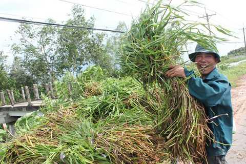Tùy thuộc vào kích thước, loại cỏ mà mang lại thu nhập cho người cắt từ 3.000-5.000 đồng mỗi bó. Ảnh: Zen Nguyễn.