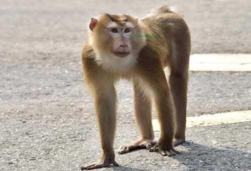 Cá thể khỉ đuôi lợn đang sinh sống đơn độc tấn công du khách tại bán đảo Sơn Trà.