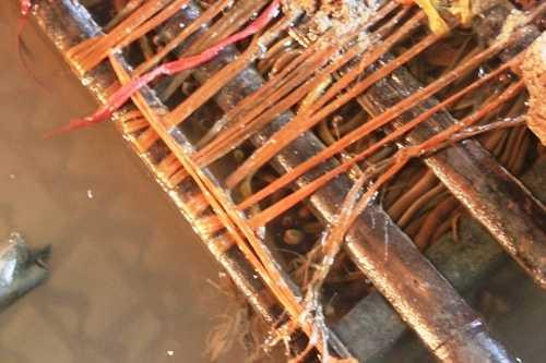 Mô hình nuôi lươn không bùn ở Nghệ An