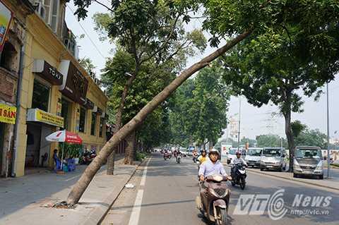 Nhiều người đi đường vô cùng lo sợ khi thân cây có thể đổ sập bất cứ lúc nào