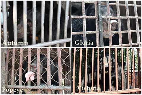Hình ảnh 4 cá thể gấu được cứu hộ tại tỉnh Quảng Ninh