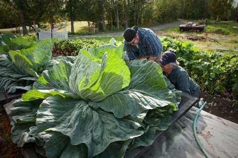 Nông dân Alaska chăm bón bắp cải khổng lồ.