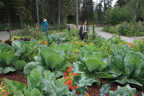 Vườn bắp cải khủng ở Alaska.