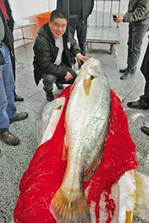 Một con cá sủ vàng khác ở Trung Quốc được cho biết có giá 9,6 tỷ đồng.
