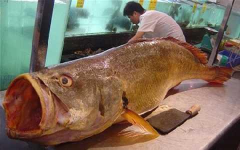 Một con cá sủ vàng trưởng thành