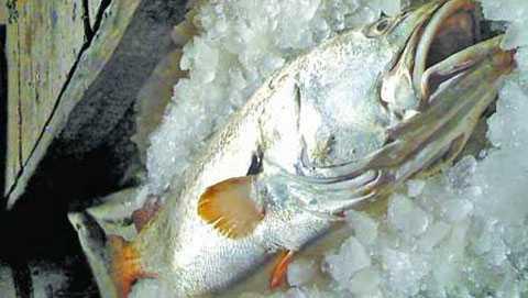 Cá sủ vàng được thương lái Trung Quốc săn lùng
