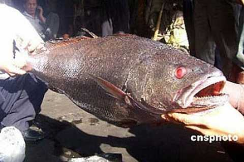 Cá sú vàng có thể ví như nhân sâm trong bồi bổ sức khỏe